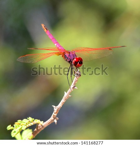 red dragonfly,Maun,Botswana