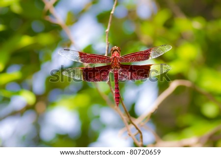 Red Dragonfly on Branch - stock photo