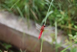 Red Dragonfly on Foliage Portrait
