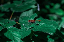 Red dragonfly on green leaves. Dragonfly sits on a branch with leaves