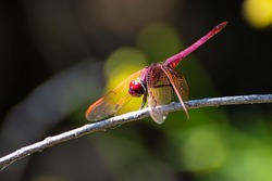 red dragonfly perched on a branch with out-of-focus background