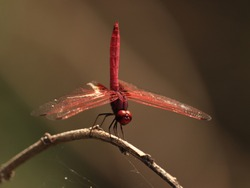 Red Dragonfly  standing in the stick