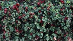 Red Dwarf Bottlebrush hedging plant. Callistemon citrinus