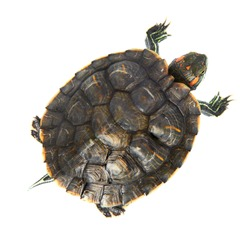 Red ear turtle isolated on white background