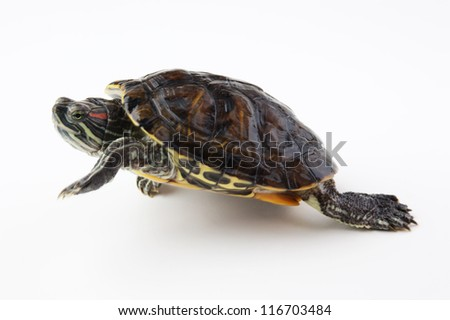 red ear turtle on white background