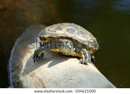 Red-ear Turtle - Trachemys scripta elegans