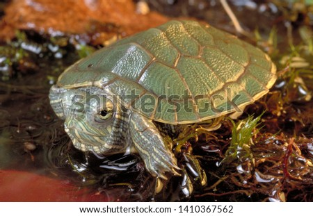 Red eared slider invasive species #1410367562