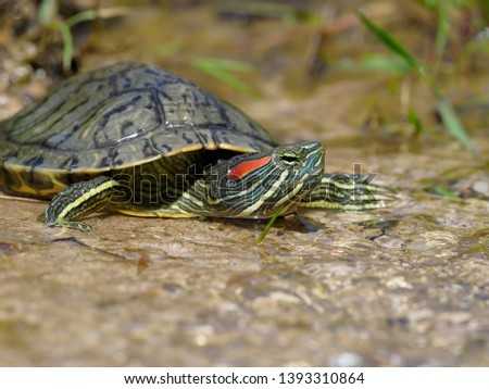 Red-eared slider, Trachemys scripta elegans, Bulgaria, April 2019 #1393310864