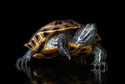 Red-eared Slider (Trachemys scripta elegans) isolated on a black background.