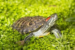 Red eared slider - Trachemys scripta elegans, Turtle head portrait in nature enviroment
