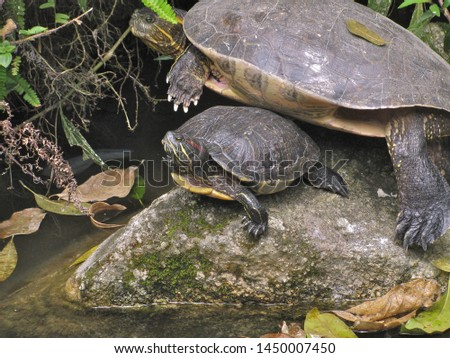 Red-eared Slider Turtle (adult and juvenile) #1450007450