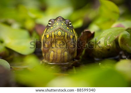 RED EARED SLIDER TURTLE IN THE WILD, SURROUNDED BY TYPICAL FLORA AND LOOKING WITH CURIOSITY TO THE CAMERA