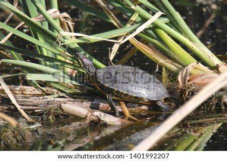 Red-eared Slider Turtle (trachemys scripta elegans) #1401992207