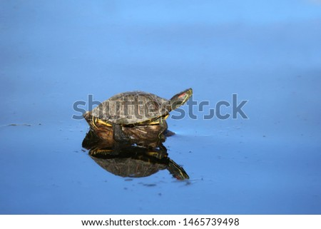 Red-eared Slider Turtle (trachemys scripta elegans) #1465739498