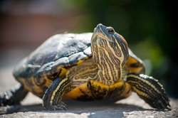 Red eared slider turtle (Trachemys scripta elegans) close up portrait with shallow depth of field