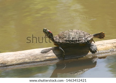 Red-eared Slider Turtle with one foot extended #1463452421