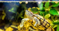 Red-eared sliders in the terrarium