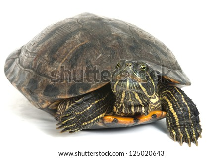 Red-eared turtle isolated on white background.