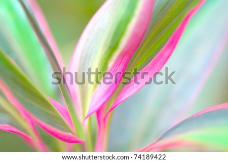 Red Edge plant (Cordyline fruticosa) , also know as Cabbage Palm, Good Luck Plant, Palm Lily. Intentionally shot with shallow depth of view.