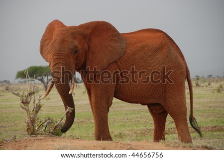 Red Elefant in Tsavo East National Parc
