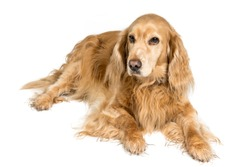 red english cockerspaniel dog isolated on white background