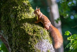 Red eurasian squirrel climbing on a tree in the sunshine searching for food like nuts and seeds in a forest attentive looking for predators and others red squirrels for mating and pairing in summer