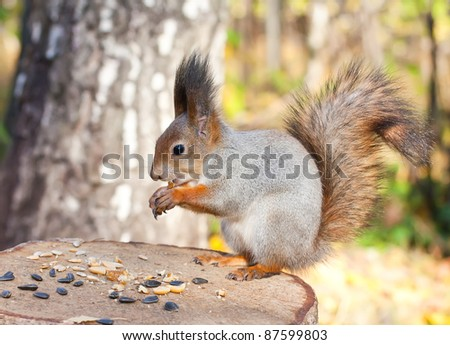 Red eurasian squirrel in autumn park