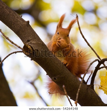 Red euroasian squirrel on the branch