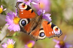 Red european peacock butterfly. Butterfly flower. Butterfly background. Peacock butterfly close up with red-black-lilac pattern on spread wings sits on purple flowers on a sunny day. Horizontal.
