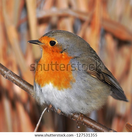 red european robin