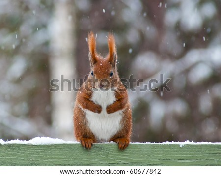 Red european Squirrel sitting on top of a green painted fence with snow, facing the viewer. It's snowing and there are snow flakes in the air.