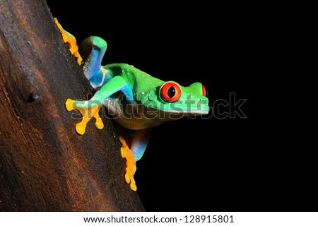 red-eye tree frog Agalychnis callidryas isolated on black