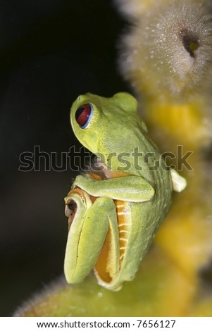 Red Eye Tree Frog, hanging