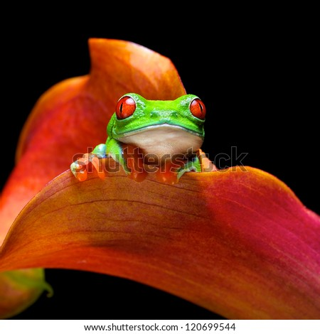 Red eye tree frog in an exotic plant