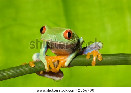Red Eye Tree Frog on Branch 5