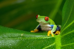 Red-Eyed Amazon Tree Frog on Large Palm Leaf/Red-Eyed Amazon Tree Frog/Red-Eyed Amazon Tree Frog (Agalychnis Callidryas)