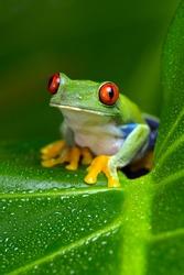 Red-Eyed Amazon Tree Frog on Large Palm Leaf/Red-Eyed Amazon Tree Frog/Red-Eyed Amazon Tree Frog (Agalychnis Callidryas)