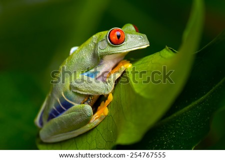 Red-Eyed Amazon Tree Frog on Large Palm Leaf Red-Eyed Amazon Tree Frog Red-Eyed Amazon Tree Frog Agalychnis Callidryas