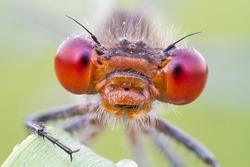 Red-eyed Damselfly extreme close-up of red eyes - Erythromma najas / viridulum