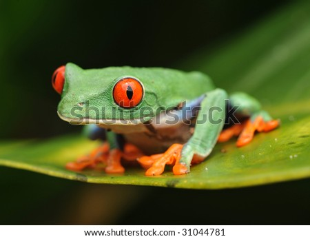 red eyed green tree frog , barrio colorado, panama, central america - stock photo