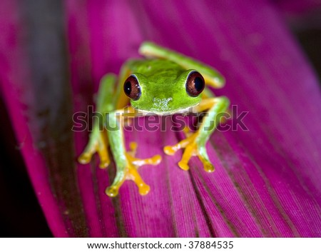red eyed green tree frog on purple plant leaf, panama, central america. vibrant rainbow multicolored exotic amphibian in tropical jungle rainforest