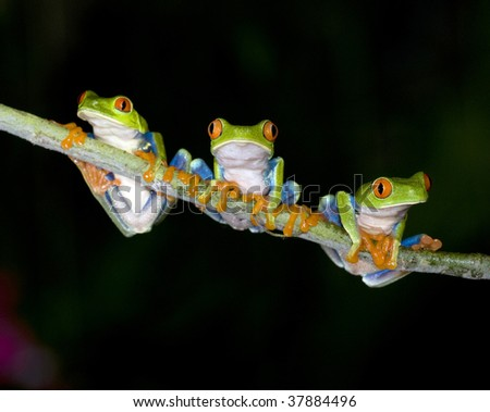 red eyed green tree frogs or gaudy tree frogs on branch, arenal, costa rica, latin america. exotic kermit tree frog amphibian amigos friends together in jungle rainforest nocturnal nightime dark black