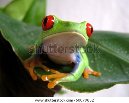 Red-eyed Tree Frog 2