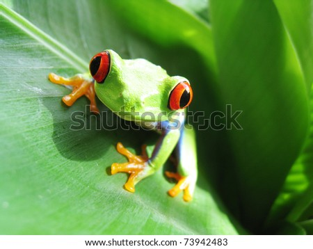 red-eyed tree frog 53