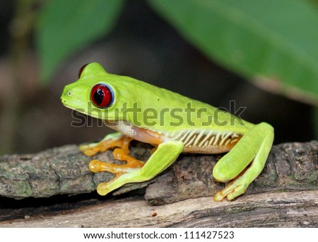 Red-eyed Tree Frog, Agalychnis callidryas