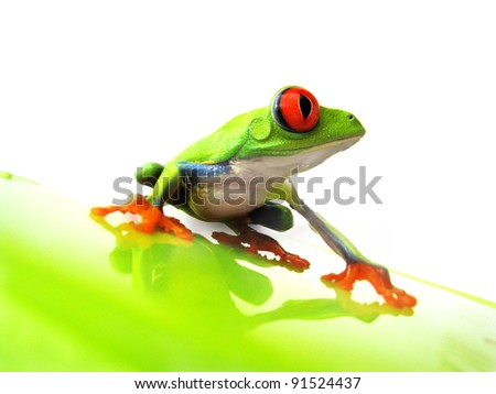 red-eyed tree frog 111, Agalychnis callidryas a red eyed tree frog is sitting on a green underground with white background - stock photo