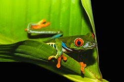 Red-eyed tree frog (Agalychnis callidryas) also called Gaudy leaf frog is an arboreal hylid, native to Neotropical rainforests in Central America in Panama and Costa Rica