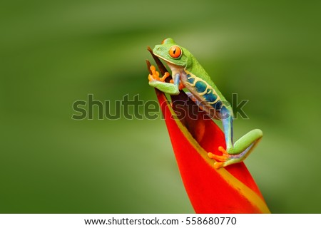 Shutterstock Red-eyed Tree Frog, Agalychnis callidryas, animal with big red eyes, in the nature habitat, Costa Rica. Frog in the nature. Beautiful frog in forest, exotic animal from central America, red flower.