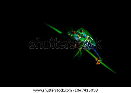 Red-eyed Tree Frog - Agalychnis callidryas arboreal hylid native to Neotropical rainforests from Mexico, Central America to Colombia, two frogs mating in the night, dark black background. Foto stock ©