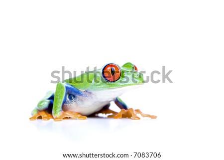 red-eyed tree frog (Agalychnis callidryas) closeup isolated on white